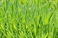 Closeup of lush green grass.