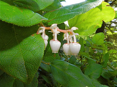 Salal by Peter Stevens is licensed under a Creative Commons Attribution 4.0 International License.