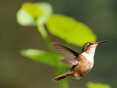 Scintillant Hummingbird by Carol Foil is licensed under a Creative Commons Attribution 4.0 International License.